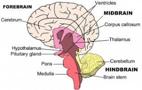 What Portion Of The Brain Controls Respiration Brain Structure And Function Brain Injury British Columbia