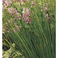 2 5 quart pink muhly grass lw02603 for the home