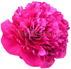 wholesale peonies buy wholesale peony wedding flowers