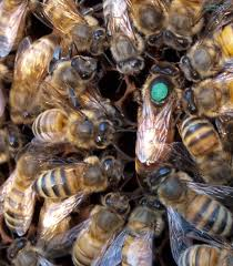 new research finds queen bee microbiomes are starkly distinct from