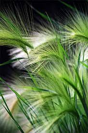 the dlightful wispy tips of ornamental grasses that in the