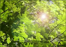Green Plants Untangling The Quantum Entanglement Behind Photosynthesis