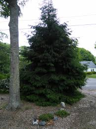cape cod native plants sitka spruce on cape cod ma ask an expert