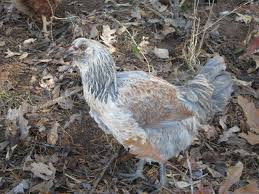 10 chicken breeds for families backyard chickens