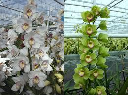 orchids for sale cymbidium orchids for sale london florist