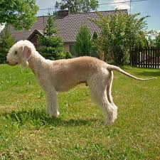 bedlington terrier guard dog hypoallergenic dogs 28 dogs that don u0027t shed