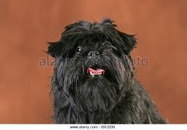 affenpinscher uk breeders affenpinscher portrait stock photos u0026 affenpinscher portrait stock