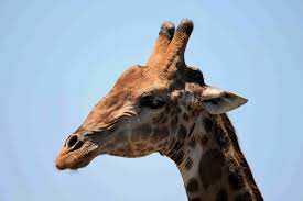 head of giraffe free stock photo public domain pictures