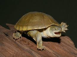 Texas Map Turtle Yellow Mud Turtles Hatchlings And Yearlings For Sale From The