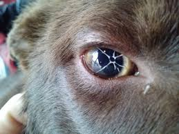 Blind Dog Eye Discharge The Eyes Have It 9 Common Bulldog Eye Problems