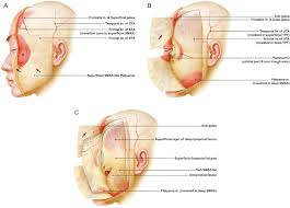 bilayered structure of the superficial fascia aesthetic