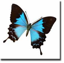 butterfly facts for the ulysses butterfly grade