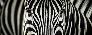 zebra stripes evolved to repel bloodsuckers