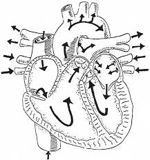 Gross Anatomy Of The Human Heart Cardiovascular Assessment
