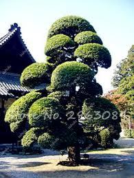 online get cheap pine seeds aliexpress com alibaba group