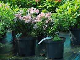 kalmia latifolia kalmia latifolia u0027minuet u0027 from burncoose nurseries