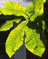 louisiana native plant society margie jenkins sola