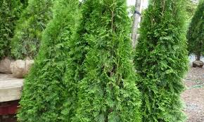 7 steps to planting cedar trees and an attractive hedge
