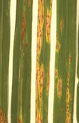 Types Of Bacterial Diseases In Plants - plant pathology wikipedia