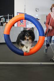 agility league champion becomes a therapy dog zoom room dog
