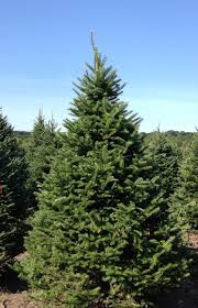 choose and cut christmas tree farm