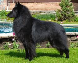 belgian sheepdog virginia 2000 bozeman mt belgian sheepdog club of america