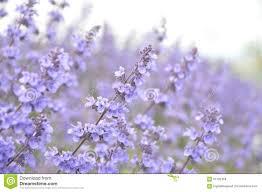 Catnip Flower - catnip stock photo image 61192458