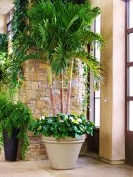 potted palm outdoor living palm plants and gardens