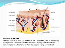 Outline The Anatomy And Physiology Of The Human Body Physiology Of Skin Function