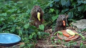 groundhogs live reference