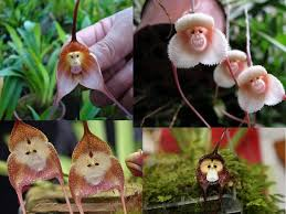 monkey orchid the monkey faced orchid
