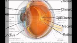 Picture Of Eye Anatomy Retina Eye Anatomy Youtube