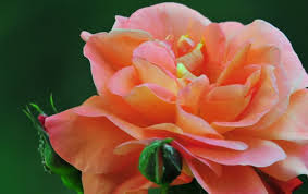 Beautifulapril Flower April Gorgeous Lovely Pretty Birthday Beautiful Rose Tues