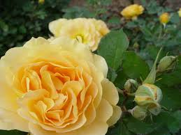 Fragrant Rose Plants - perfumed roses