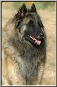 belgian shepherd breeds 204 best tervs u0026 other belgian baddies images on pinterest