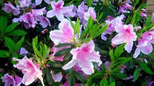 when to prune native plants pruning azaleas when u0026 how southern living