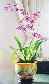 oncidium orchid oncidium sweet baby caramel my newest orchid my orchids