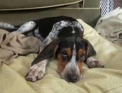 bluetick coonhound nh long ears blog coonhound u0026 foxhound companions