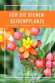 Musterhaus K Hen Die Besten 25 Seidenpflanze Ideen Auf Pinterest Schwarzäugige