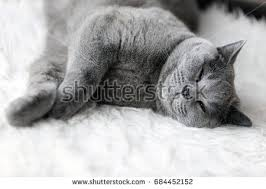 sleeping on short hair young cute cat sleeping on cosy stock photo 684452152 shutterstock