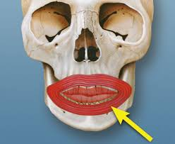 Orbicular Oris Orbicularis Oris On The Ptc Dental Dictionary Ptc Dental