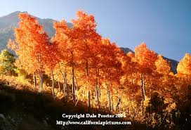 fall landscape pictures aspen trees photo