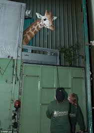 s day giraffe giraffe spotted being transported between zoos in trailer on m25