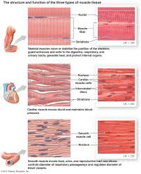 muscle cell comparison human biology pinterest