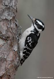 17 best birds of illinois images on pinterest illinois backyard