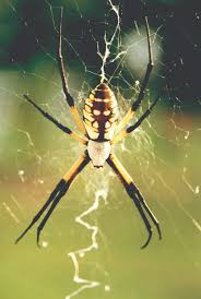 back u0026 yellow garden spiders facts prevention u0026 control