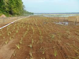 american native plants lake habitat onondaga lake cleanup
