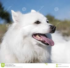 american eskimo dog calendar american eskimo dog happy white dog esky stock photo image