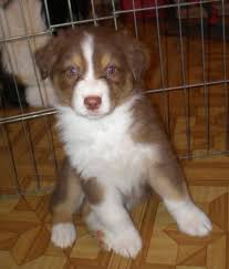 australian shepherd joint problems 105 best australian shepherds images on pinterest dog aussies