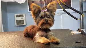 pictures of puppy haircuts for yorkie dogs before and after photos mobile dog grooming in houston houston